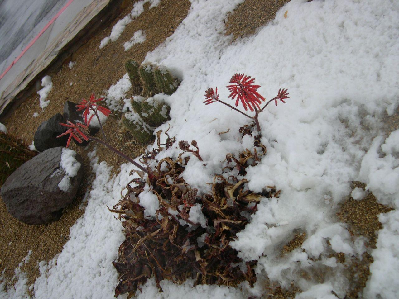 Cactus in the Snow.
